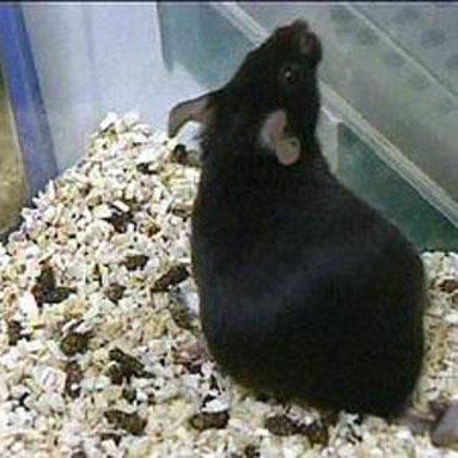 Desarrollan anticuerpos capaces de prevenir y tratar en ratones el virus H5N1 de la gripe aviar