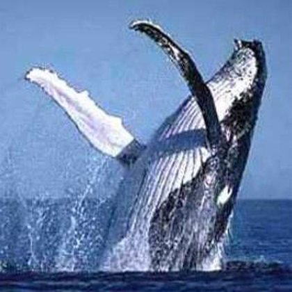Islandia reinicia la caza de ballenas