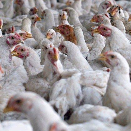 Los pollos podrían ser clave para el estudio de las alergias humanas