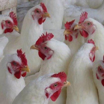 La FAO advierte de la aparición de una nueva cepa de la gripe aviar en África