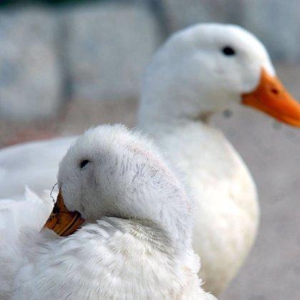 La migración de aves, posible responsable de la propagación de la nueva cepa de gripe aviar
