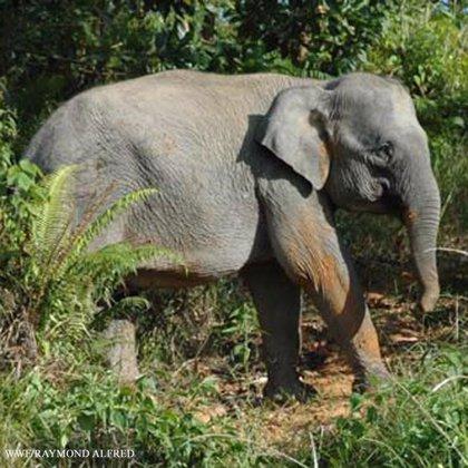 Los elefantes, al igual que los humanos, rechazan hablar con desconocidos, según un estudio