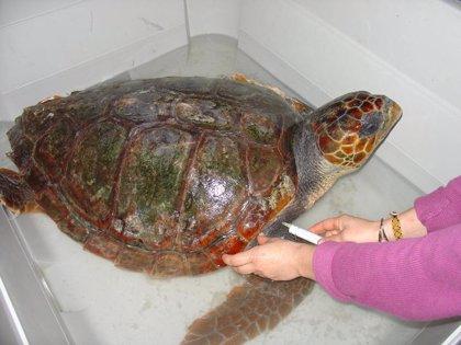"""Promar suelta un ejemplar de tortuga boba que fue rescatado """"desorientado"""" en aguas del Mar de Alborán"""