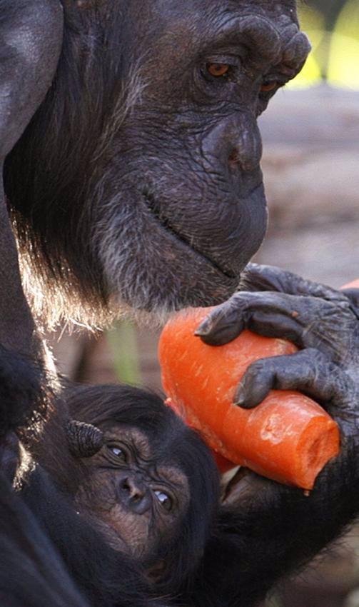 En la imagen una chimpancé con su cria