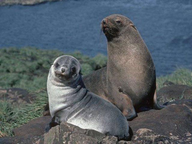 Focas Peleteras, una especie detectada en las islas Orcadas del Sur
