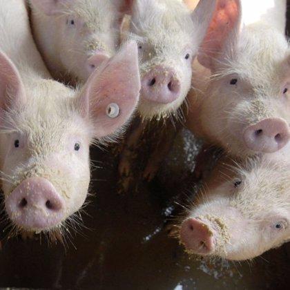 Dos trabajadores de una granja de cerdos de Canadá resultan infectados por un nuevo virus de la gripe