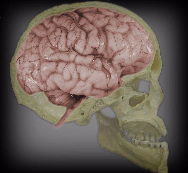 cerebro, craneo