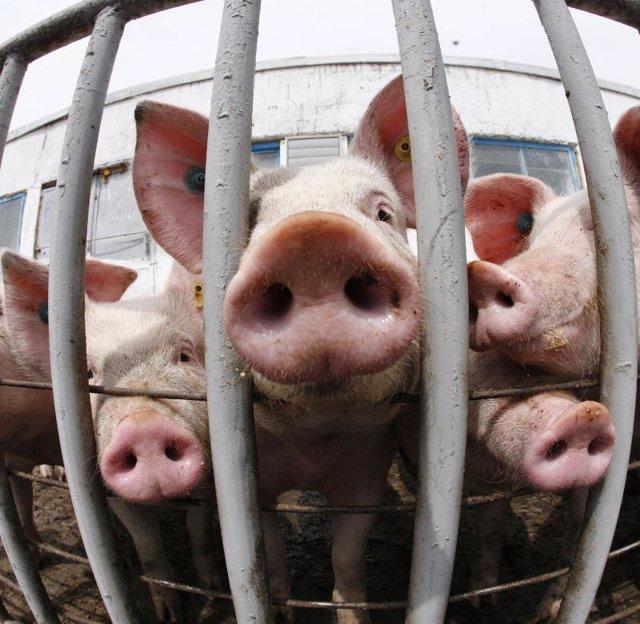 Cerdos nueva gripe