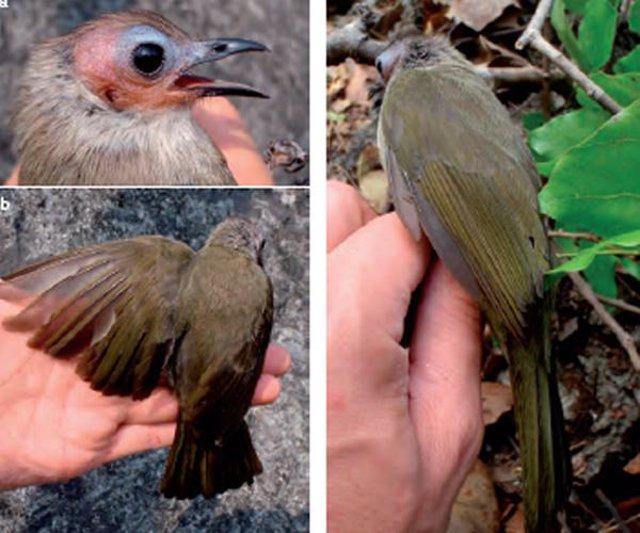 Nueva especie de pájaro