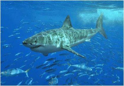Alcampo y Sabeco no comercializarán tiburones en peligro de extinción