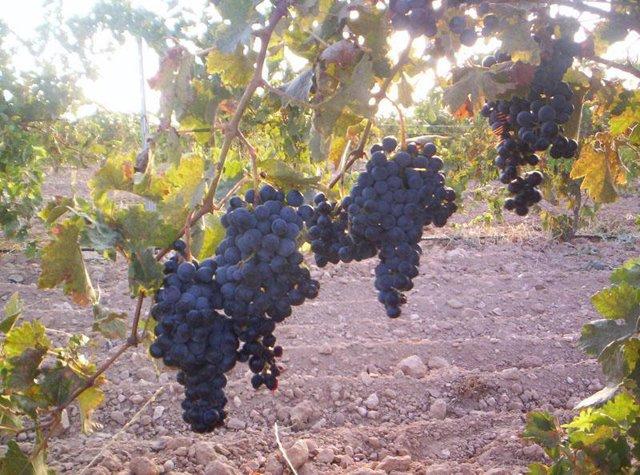 Planta de viñedo, vino