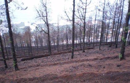 Culminan actuaciones de restauración ambiental tras el incendio forestal en La Palma valoradas en 2,5 millones