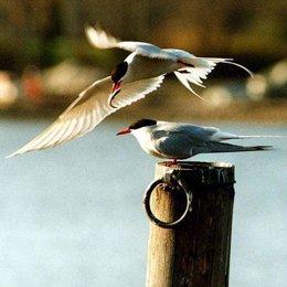 Pájaros árticos