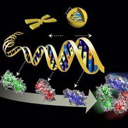 Genoma, ADN, CROMOSOMA