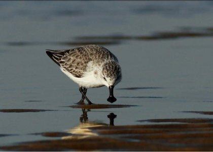 El correlimos cuchareta, un ave en 'peligro crítico', es la elegida del día de la Lista Roja de especies amenazadas