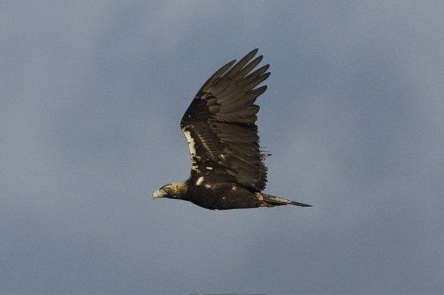 Águila imperial en vuelo