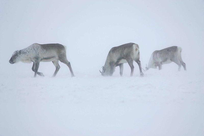 Los animales del Ártico no emplean reloj biológico