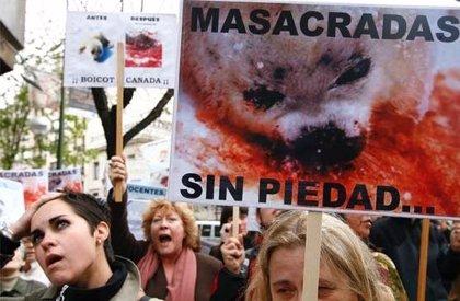 Convocan una concentración hoy frente a la embajada de Canadá contra la matanza de focas