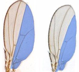 Ala de mosca Drosophila