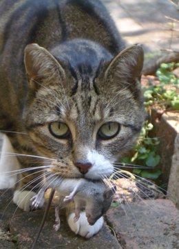 Gato comiéndose un ratón