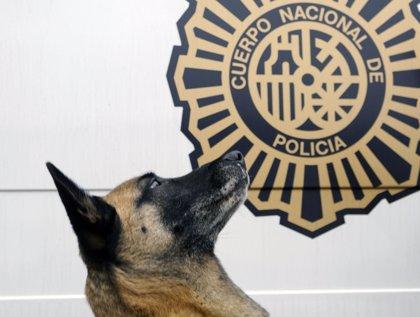 La perra 'Lua' de la Policía de Oviedo, premiada por su historial