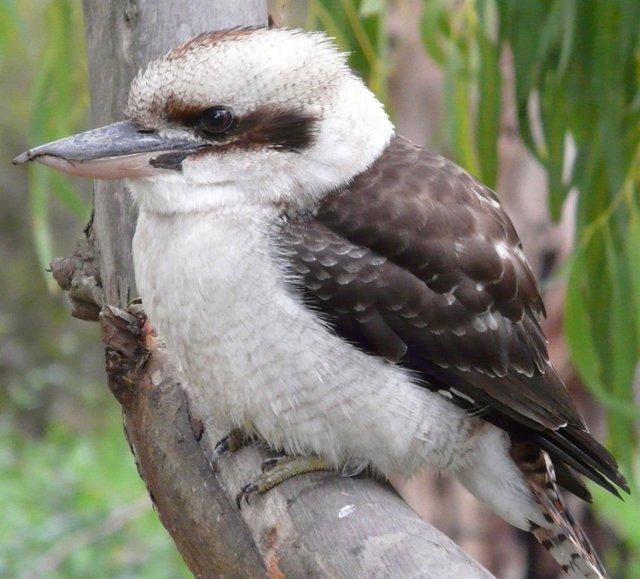 Kookaburra pájaro australiano