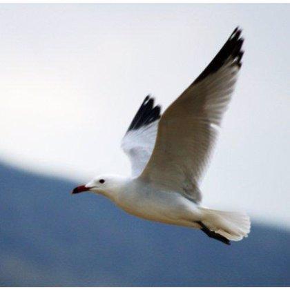 Bahía de Santander y SEO retoman este verano las rutas en barco para observar la migración de aves marinas