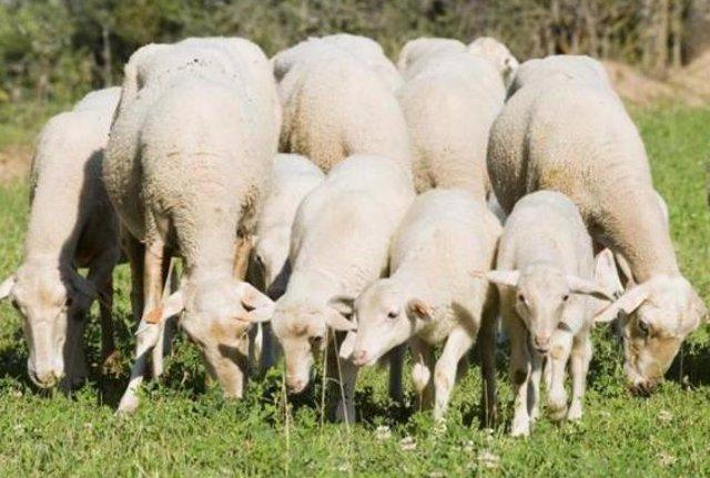 Un rebaño de ovejas oasta en el campo.