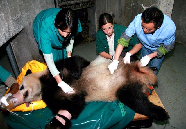 La osa panda, durante una inseminación