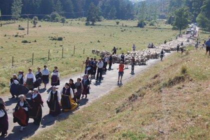 Las ovejas que partieron en ruta trashumante desde Campanario llegan a su destino en Burgos, tras 36 días