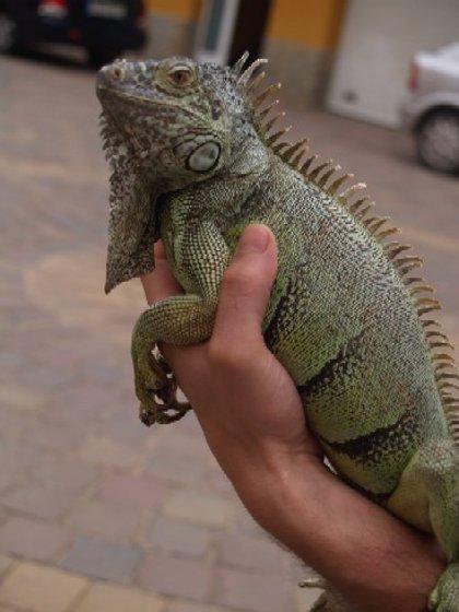 Encuentran una iguana de más de un metro en un bosque de la Garrotxa