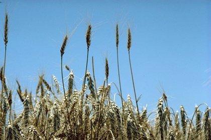 La superficie de cultivos energéticos por la que se han solicitado ayudas es de 76 hectáreas