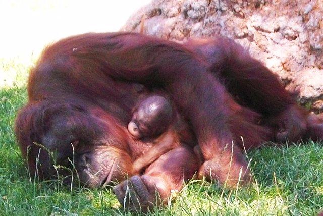 Cría de orangután con su madre