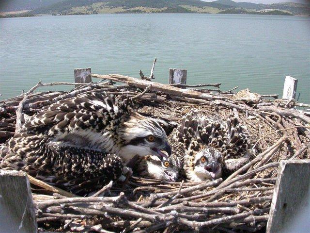 Dos parejas de águila pescadora se han reproducido por segundo año consecutivo e