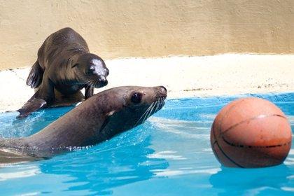 Loro Parque (Tenerife) amplía su 'familia' de animales con el nacimiento de dos leones marinos de California