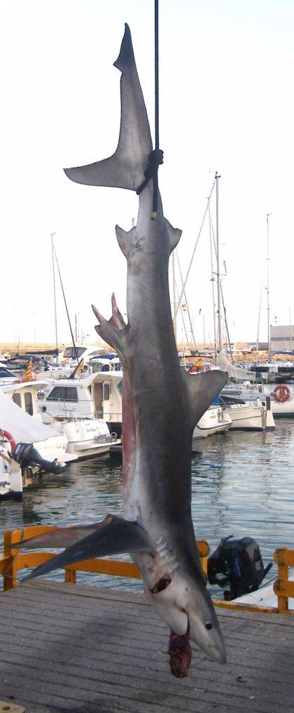 AMP.- Pescan un tiburón de 2,5 metros cerca de la costa de Arenys de Mar