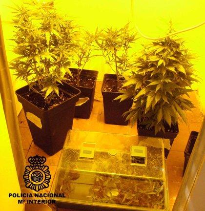 Detenidos un hombre y a una mujer que cultivaban más de 70 plantas de marihuana en una habitación