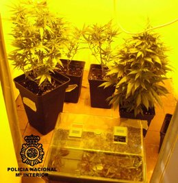 Plantas de marihuana incautadas