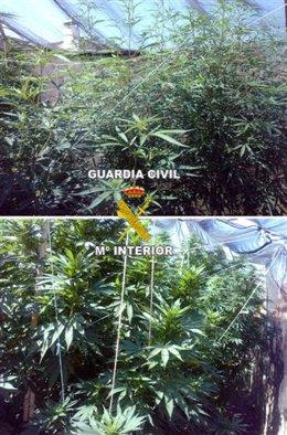 Plantación de marihuana de la familia detenida