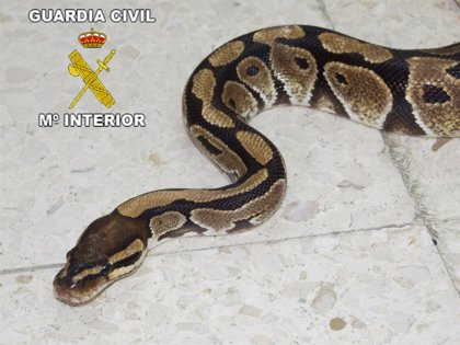 La Guardia Civil interviene una serpiente pitón de 1,2 metros en Chiclana