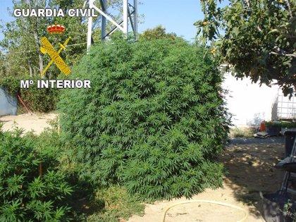 Descubren una plantación de marihuana de 69 kilos y el dueño dice que era para su consumo personal