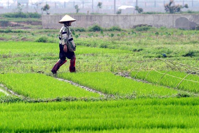 Campesino en sus campos de arroz en Vietnam
