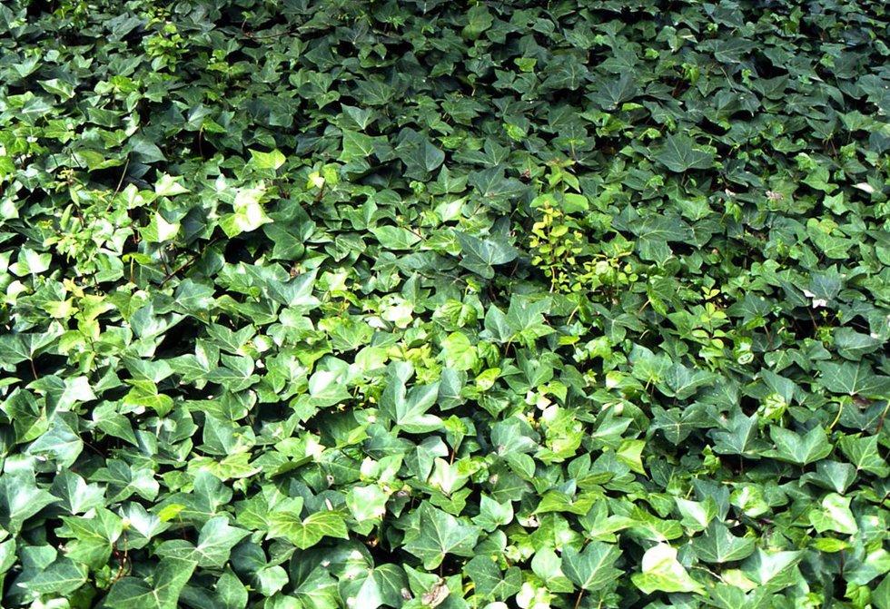Plantas que se enredan - Madreselva planta ...