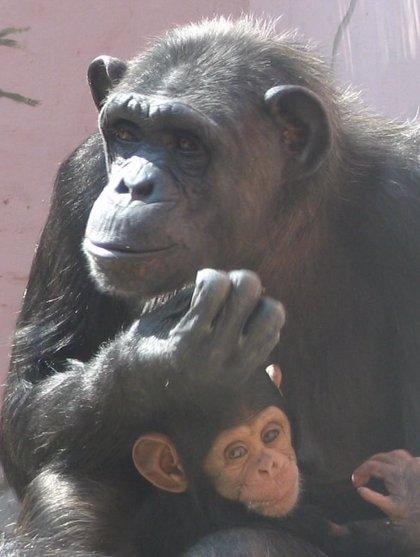 La Reserva de El Castillo de las Guardas libera 6 chimpancés en la única instalación a cielo abierto de España