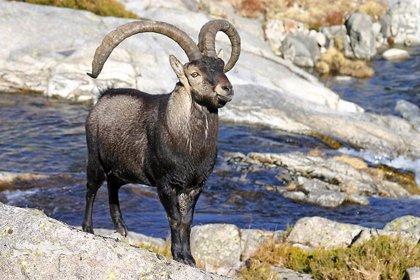 La Consejería de Medio Ambiente abre este sábado la temporada general de caza mayor en Andalucía