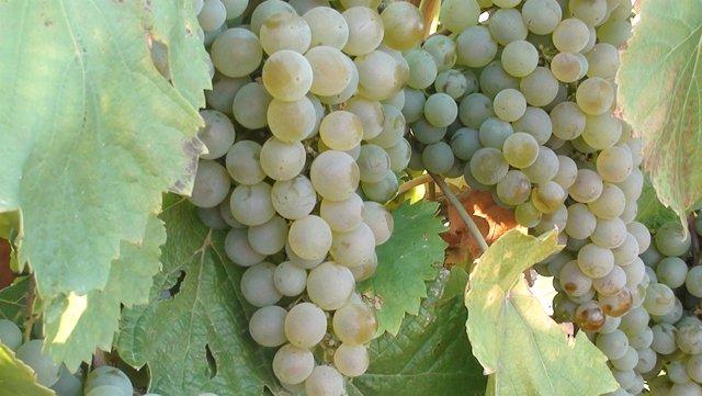 Viñedo-uvas