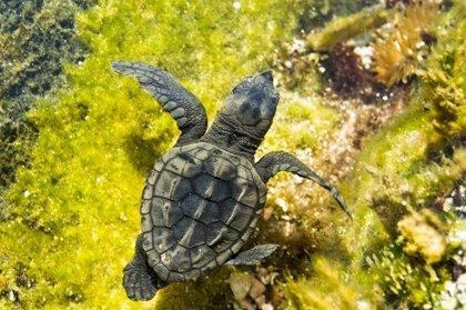 M.Doñana registra este año la mayor mortandad de tortugas marinas de su historia, con 80 varamientos