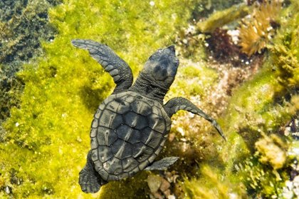 Doñana registra este año la mayor mortandad de tortugas marinas de su historia, con 80 varamientos