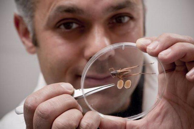 Vahed muestra un saltamontes y sus testículos