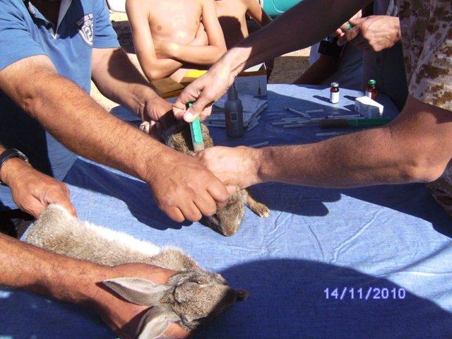 1.025 Conejos Silvestres Fueron Capturados, Vacunados Y Devueltos Al Medio En La